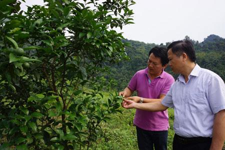 Đồng chí Hoàng Kim Trọng - Phó Chủ tịch UBND huyện Lục Yên (bên phải) trao đổi với Mai Thanh Tùng về kỹ thuật phòng trừ sâu, bệnh hại cam.