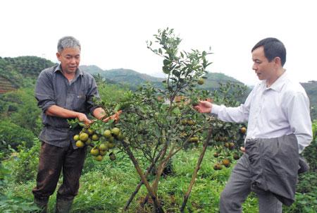 Ông Nguyễn Mạnh Hùng ở tổ dân phố 7, thị trấn Nông trường Trần Phú (bên trái) giới thiệu với cán bộ thị trấn về cách xử lý cho cam, quýt ra quả trái mùa.