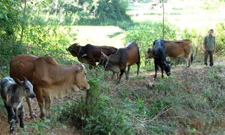 Cựu chiến binh Trần Xuân Tình chăm sóc đàn bò của gia đình.
