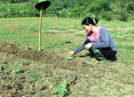 Chị Nông Thị Quy chăm sóc ruộng dưa hấu của gia đình.