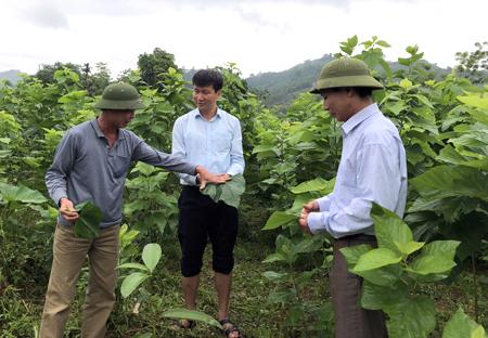 Đồng chí Trần Huy Tuấn - Bí thư Huyện ủy Văn Yên (đứng giữa) kiểm tra mô hình trồng dâu nuôi tằm tại xã Xuân Ái.