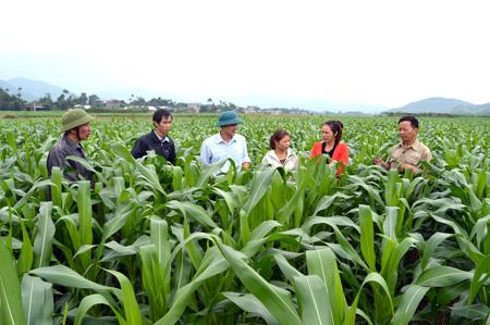 Huyện Văn Yên đã xây dựng vùng sản xuất ngô đồi hàng hóa tập trung  diện tích 6.000 ha/năm.