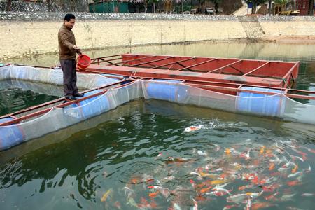 Anh Trần Văn Hùng chăm sóc lồng cá Koi.
