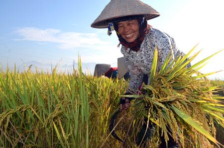 Nông dân Văn Chấn phấn khởi được mùa lúa đông xuân.
