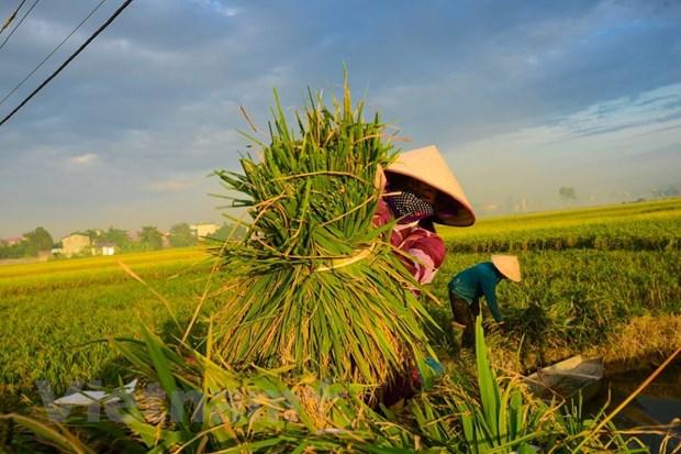 Nông dân thu hoạch lúa.