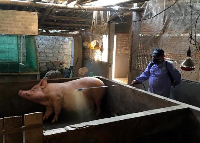 Ông Nguyễn Thành Đô - Trưởng thôn Đông Thịnh trực tiếp phun tiêu độc khử trùng cho các hộ chăn nuôi lợn trong thôn.