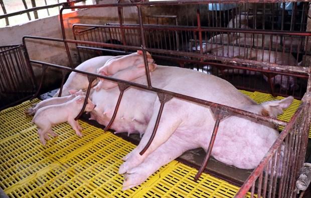 Lợn bị chết nằm la liệt trong chuồng của hộ chăn nuôi Đặng Văn Đoàn, tổ 6, thị trấn huyện Cẩm Xuyên, Hà Tĩnh.