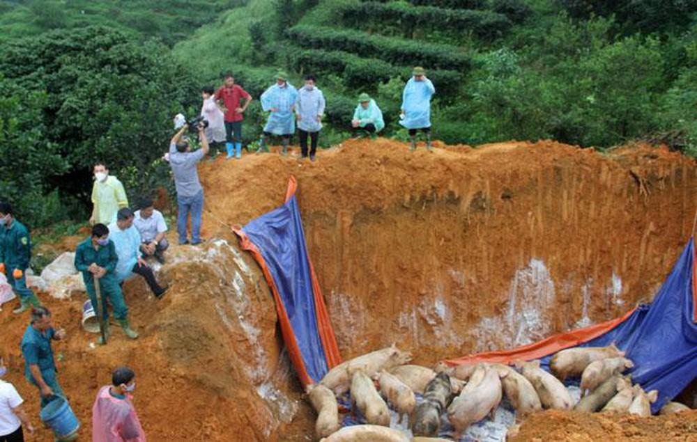 Các lực lượng chức năng tiến hành tiêu hủy lợn nhiễm dịch tả châu Phi. (Ảnh: Mạnh Cường)
