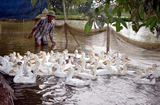 Mô hình nuôi vịt đẻ trứng của ông Nguyễn Quốc Huy, thôn Ao Luông cho hiệu quả kinh tế cao.