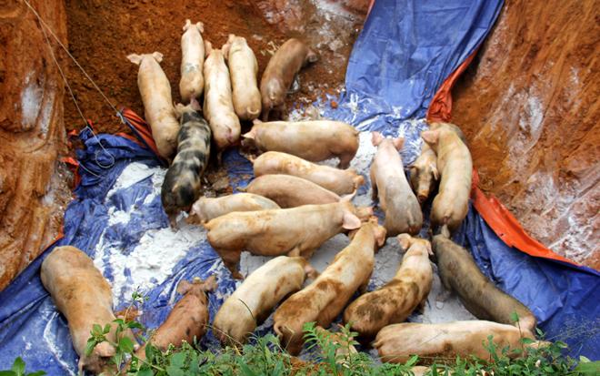 Yên Bái đã 18 xã, phường, thị trấn có lợn mắc dịch với tống số lợn phải tiêu hủy là 1.526 con, trọng lượng trên 65,3 tấn.