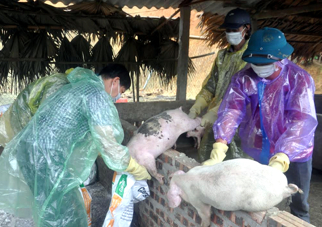 Lực lượng chức năng đưa lợn nhiễm bệnh đi tiêu hủy.