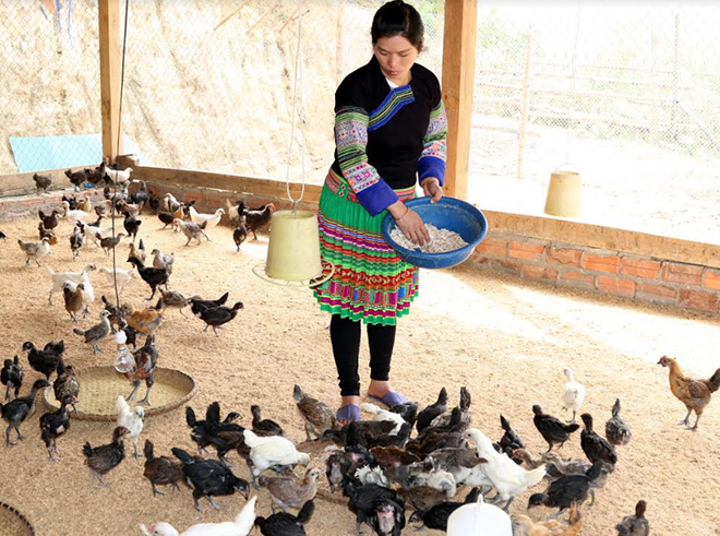 An indigenous black chicken farming model in Lao Chai commune of Mu Cang Chai district that generates an annual income of over 100 million VND.