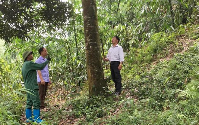 Rừng quế 15 năm tuổi trồng xen với tre măng Bát độ ở Kiên Thành.