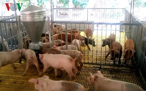 Giá lợn hơi tăng mạnh kéo theo giá thịt lợn thương phẩm tăng cao.