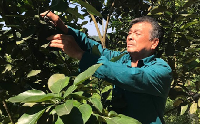 Ha Phuc Tien works at grapefruit garden