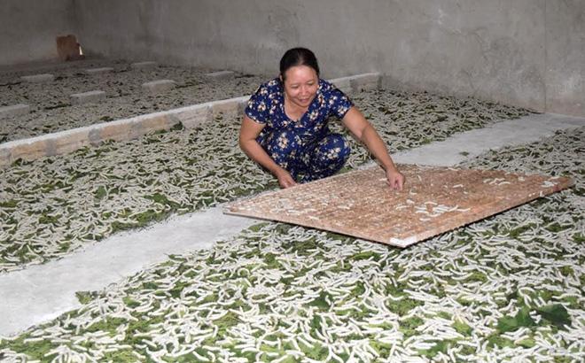 Các hộ dân nuôi tằm lớn ở xã Báo Đáp, huyện Trấn Yên áp dụng hiệu quả kỹ thuật đưa tằm lên né ô vuông.