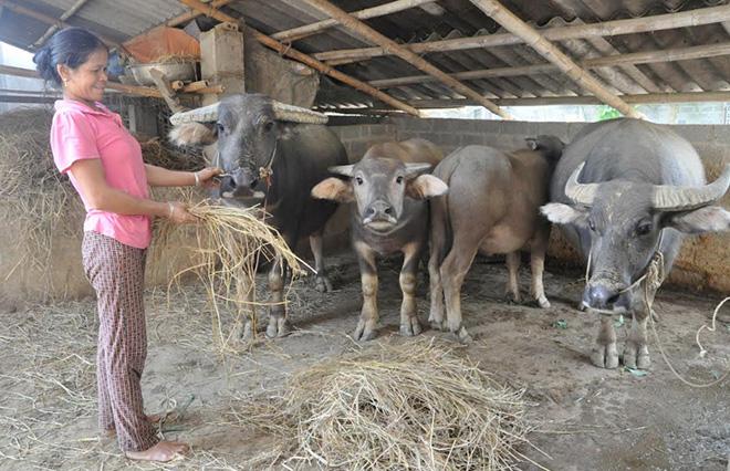 Vốn tín dụng chính sách đã giúp gia đình chị Triệu Thị Tuyết ở phường Pú Trạng, thị xã Nghĩa Lộ thoát nghèo.