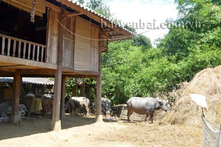 Tập quán nuôi nhốt gia súc dưới gầm sàn, cạnh nhà vẫn còn tồn tại ở một số địa phương vùng cao.