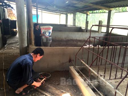 Mạnh dạn mở rộng chăn nuôi, nhưng vợ chồng ông Hoàng Đình Hạnh, thôn 14, xã Đại Lịch luôn chú trọng vệ sinh chuồng trại, có hầm Biogas đúng tiêu chuẩn.