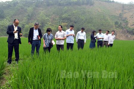 Đoàn công tác của Công ty TNHH Seibu Nousan Việt Nam khảo sát thực địa tại vùng sản xuất lúa hàng hóa xã Đông Cuông.