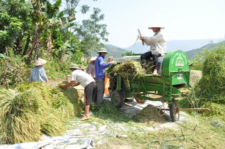 Nông dân xã Đại Phác thu hoạch lúa mùa.