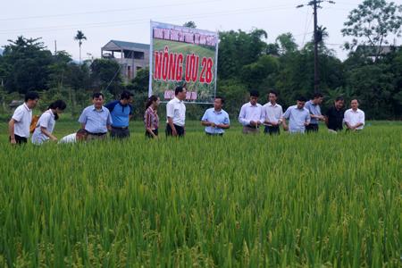 Các đại biểu tham quan mô hình lúa Nông ưu 28 ở cánh đồng Mỏ thị trấn Yên Thế.