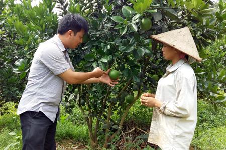 Cán bộ nông nghiệp xã trao đổi kỹ thuật phòng bệnh trên cây bưởi Diễn cho nông dân. Áp dụng phương pháp an toàn sinh học trong chăm sóc vườn quả.