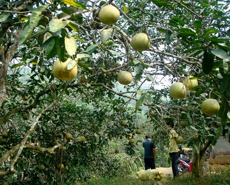 Cây bưởi mang lại nguồn thu nhập lớn cho người dân Đại Minh, huyện Yên Bình. Ảnh MQ