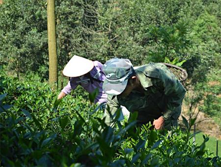 Nông dân thôn Bảo Thanh, xã Bảo Hưng thu hái chè.
