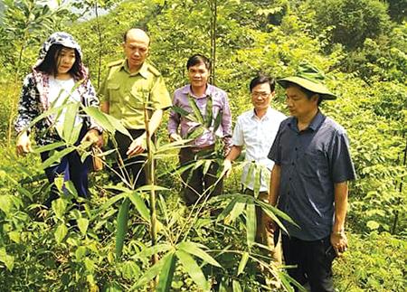 Cây tre măng Bát độ trồng năm 2017 tại xã Khánh Hòa, huyện Lục Yên sinh trưởng và phát triển tốt.