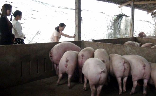 Cán bộ nông nghiệp huyện Lục Yên tăng cường kiểm tra và hướng dẫn các biện pháp bảo vệ đàn lợn tại xã Mai Sơn.