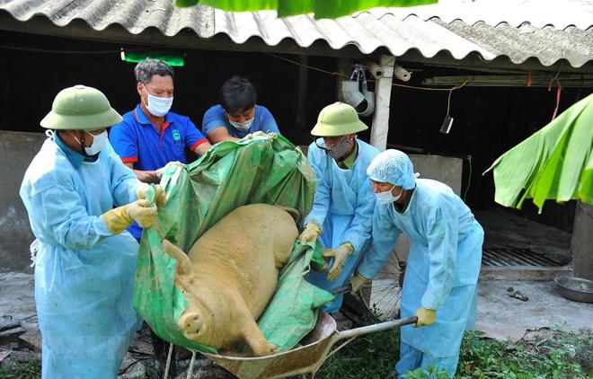 Lợn mắc bệnh dịch tả lợn châu Phi bị chết được lực lượng chức năng đưa đi tiêu hủy.