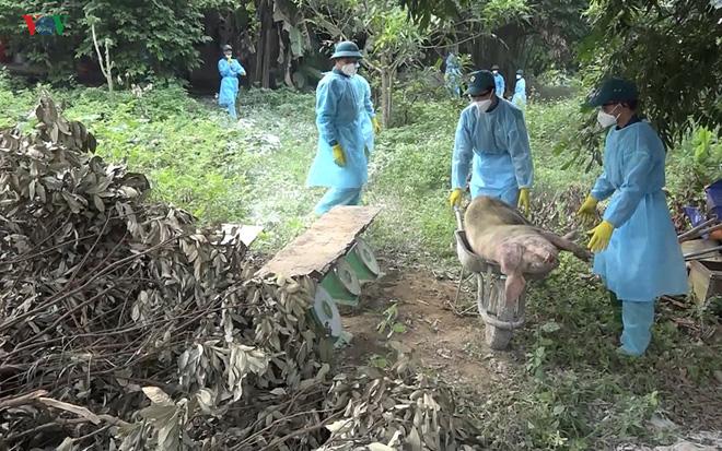 Tả lợn châu Phi lan rộng khắp toàn tỉnh Lào Cai.