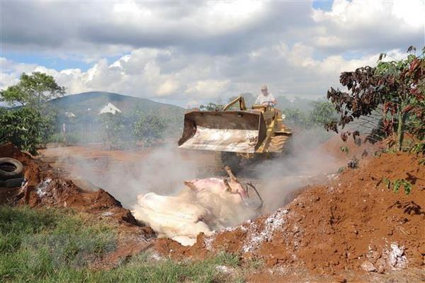 Công tác tiêu hủy tại huyện Đức Trọng (Lâm Đồng).