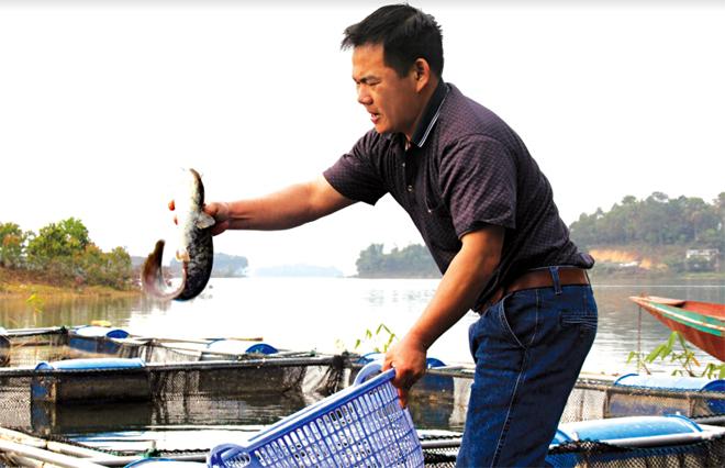Nghề nuôi cá lồng trên hồ Thác Bà mang lại thu nhập cao.