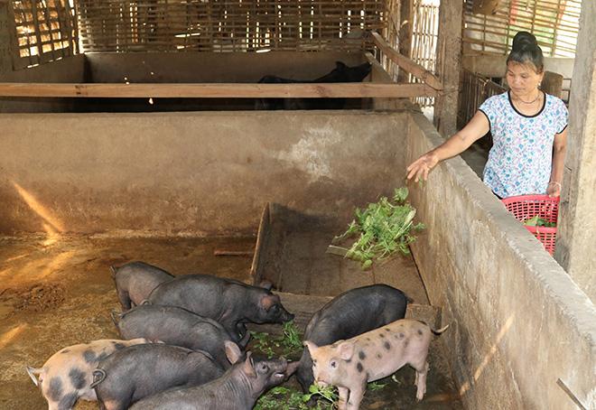 Cơ sở chăn nuôi 5 lợi nái và trên 50 lợn thịt của anh Hoàng Đình Văn ở thôn Lừu 2 cho hiệu quả cao.