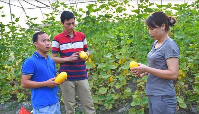 Nhiều khách đến tham quan, học hỏi kinh nghiệm trồng dưa lê Hàn Quốc của anh Lục Văn Anh.