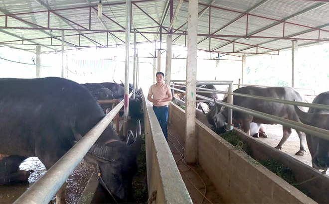 HTX Dịch vụ tổng hợp Thiên An tại thôn Cây Tre, xã Xuân Lai chuyên vỗ béo trâu, bò để bán.