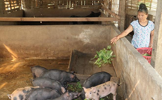 Pig raising farm of Hoang Dinh Van in Luu 2 hamlet proves effective.