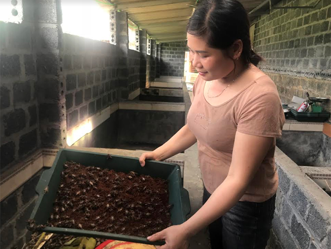 There are now four households in Dong Khe commune engaging in cricket farming which has initially brought about high economic value.