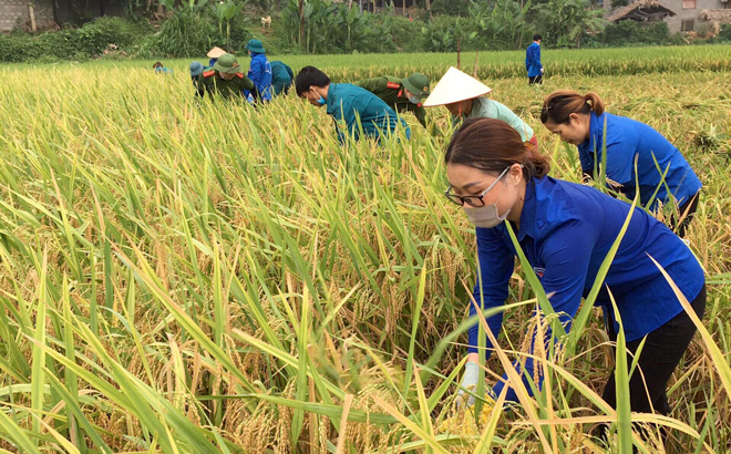 Members of Luc Yen district's youth union help farmers harvest rice.