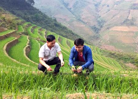 Đội viên Hà Chánh Thảo (bên phải) kiểm tra sinh trưởng của lúa theo phương pháp thâm canh mới tại xã Pá Hu, huyện Trạm Tấu.