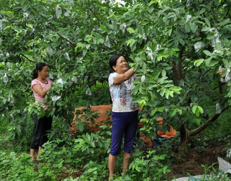 Mô hình trồng ổi của gia đình chị Nguyễn Thị Lai ở thôn Gò Cấm, xã Vân Hội cho thu nhập trên 100 triệu đồng.