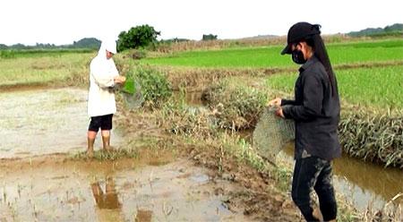 Nhân dân Trấn Yên tranh thủ cấy dặm những diện tích lúa bị chết ngay sau khi nước rút.