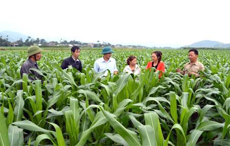 Xã Yên Phú đã quy hoạch vùng sản xuất ngô đông với diện tích trên 100 ha.