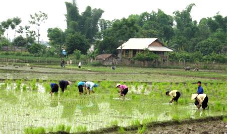 Nông dân huyện Văn Chấn gieo cấy lúa mùa.
