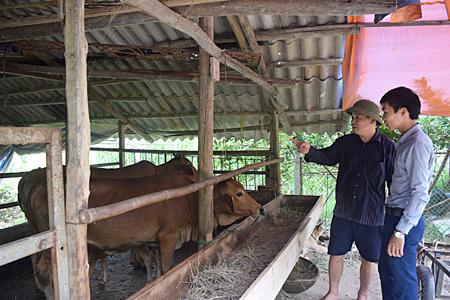 Đàn bò của ông Nguyễn Địch Lan luôn khỏe mạnh nhờ chế độ chăm sóc và nuôi dưỡng tốt.