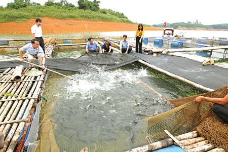 Nghề nuôi cá lồng trên hồ Thác Bà đang phát triển mạnh.  (Ảnh: Thanh Miền)
