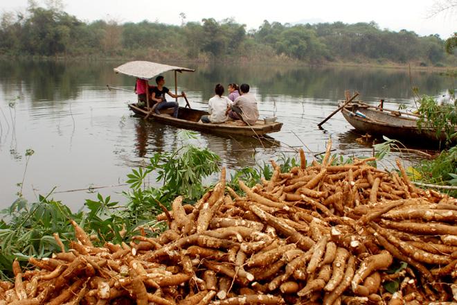 Nông dân Bảo Ái (Yên Bình) thu hoạch sắn trồng trên đảo hồ Thác Bà.