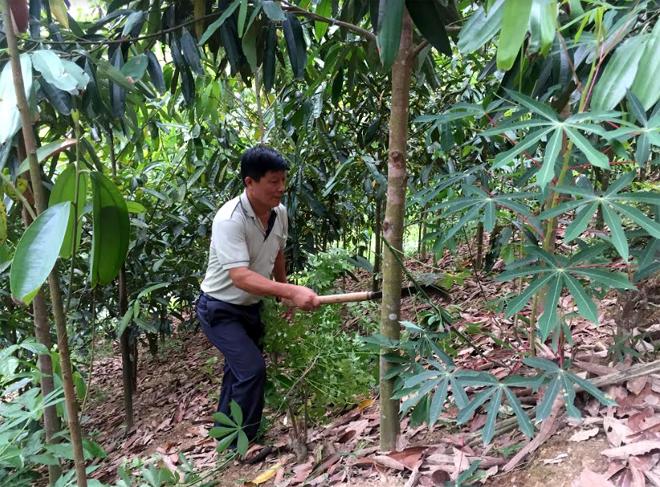 Ông Nguyễn Ngọc Thắm chăm sóc đồi quế của gia đình.